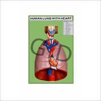 Human Lung with Heart