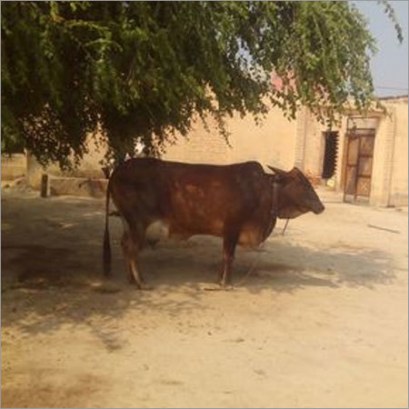 Brown Sahiwal Cow