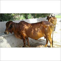 Sahiwal Cow Breed