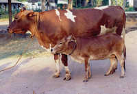 Karan Swiss Cow Breed