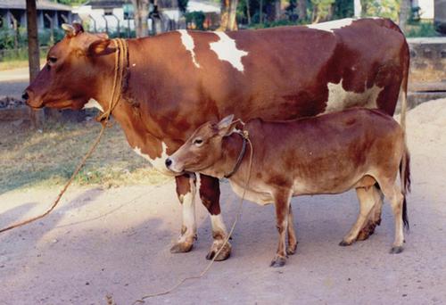 Karanswiss Cow
