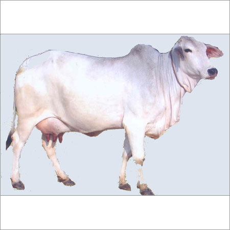 Tharparker Cow