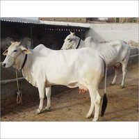 Tharparkar Breed Cow