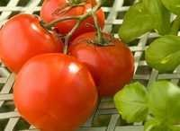 Export Quality Fresh Tomato