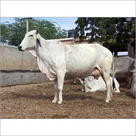 White Tharparkar Cow
