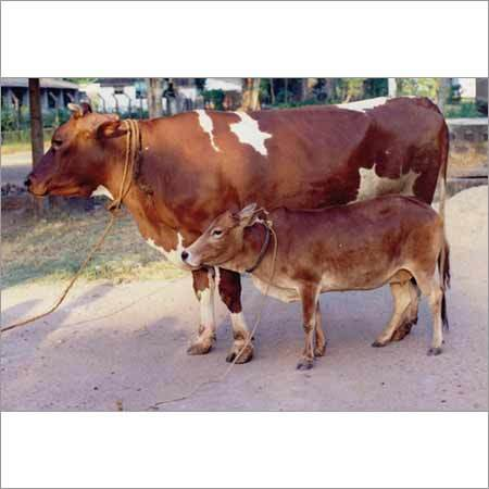 Karan Swiss Cow