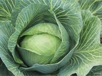 Fresh Cabbage Vegetable