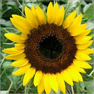 Sun Flower Oil