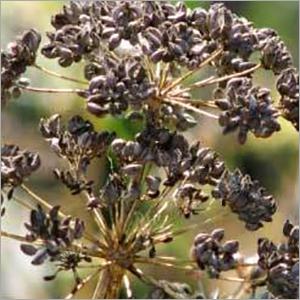 Parsley Seed Oil