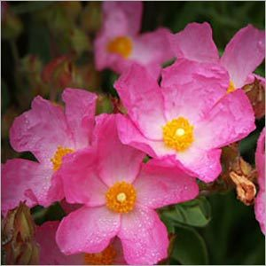 Labdanum Absolute Oil (Rock Rose)