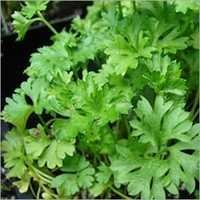Parsley Seed Oils