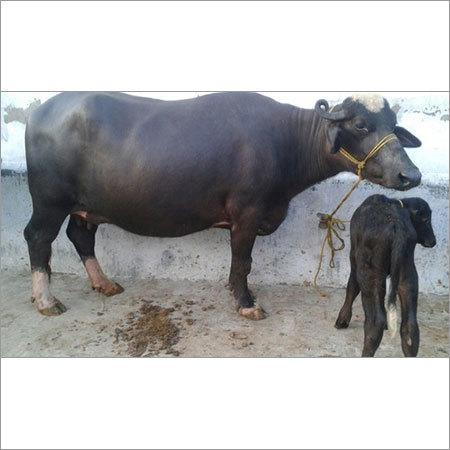 Cattle Buffalo