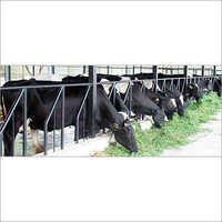 Holstein Friesian Cattle Cow