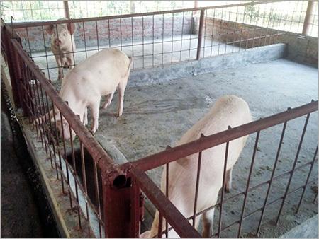 Large White Pig Male Large White Pig Male Exporter