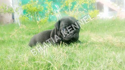 Black Pug dog