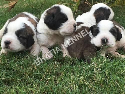 Best Saint Bernard Pups