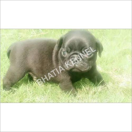 Best Pug Pups