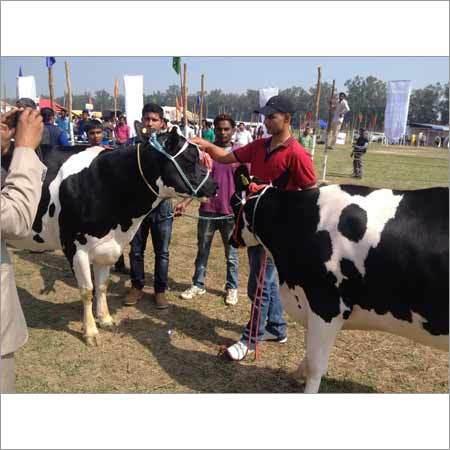 Breed Hf Cow