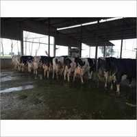 Haryana Hf Cow
