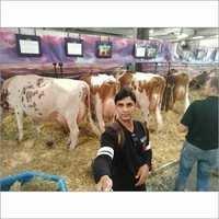 Farm Jersey Cow