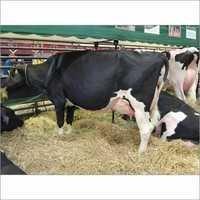 Healthy Hf Cows