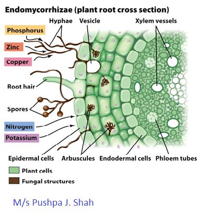 Endo- Mycorrhiza