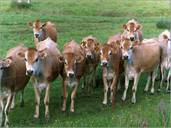 Jersey Cross Cows