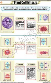Plant Cell Mitosis Chart