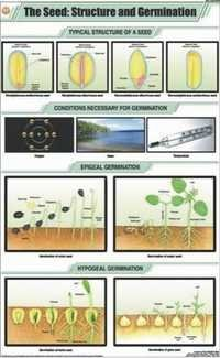 The Seed Structure & Germination Chart