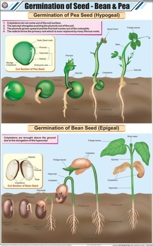 Germination of Seed Bean & Pea Chart