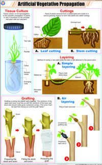 Artificial Vegetative Propagation Chart