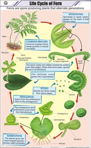 Life Cycle of Fern Chart