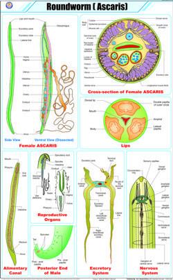 Roundworm Chart
