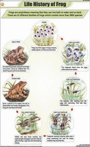 Life History of Frog Chart
