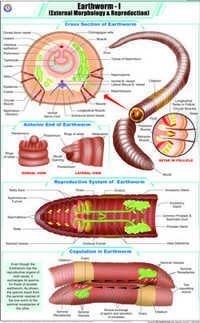 Earthworm l  Ext. Morphology & Reproduction Chart