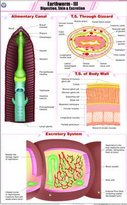 Earthworm III Digestion , Skin & Excretion Chart