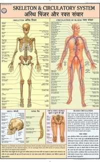 Skeleton & Circulatory System Chart