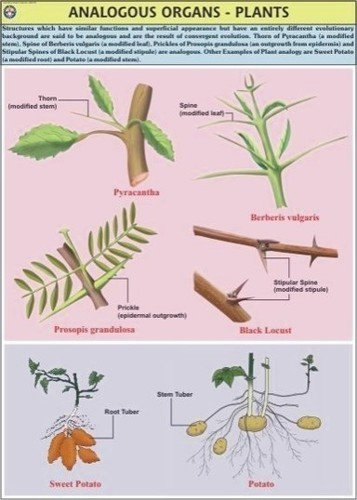 Plant Analogous Organs Chart