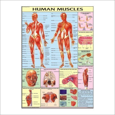 Muscles Chart