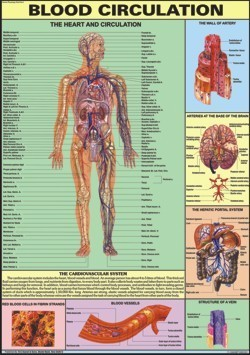 Blood Circulation Chart