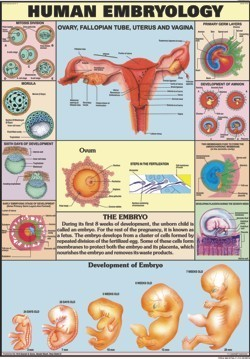 Human Embryology Chart