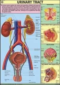 Urinary Tract Chart