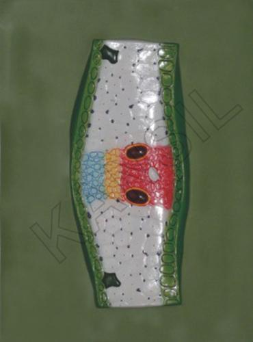 T.S. Monocot Leaf Model