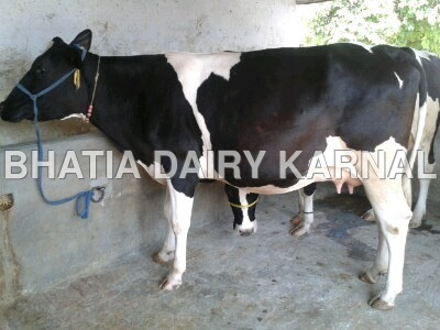 HF cows Supplier in karnal