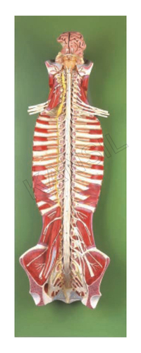 Spinal Cord in the Spinal Canal Model