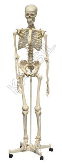 Skeleton with Stand Model