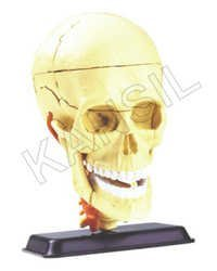 Cranial Nerve Skull Anatomy Model