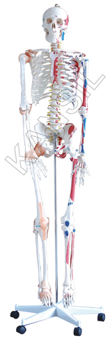 Human Skeleton With Muscles & Ligaments Model