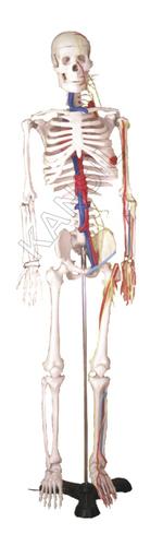 Human Skelton Model