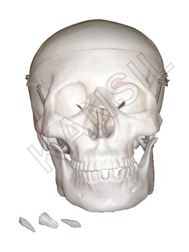 Life Size Skull Model